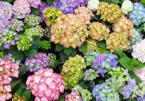Hydrangeas come in many colors: here we see purple, green, pink and blue
