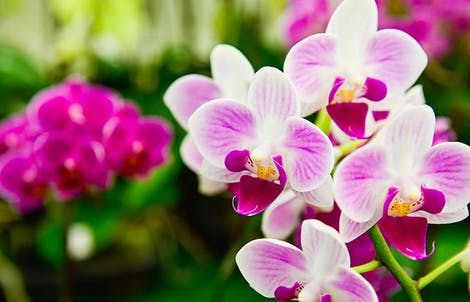 Photograph of phalaenopsis orchids