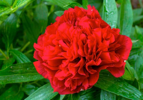 Close-up photograph of Red Peonies
