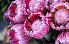 This protea variant, titled pink ice, features bright pink petals tipped in white
